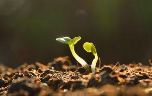 При сильной кислотности урожай будет расти плохо