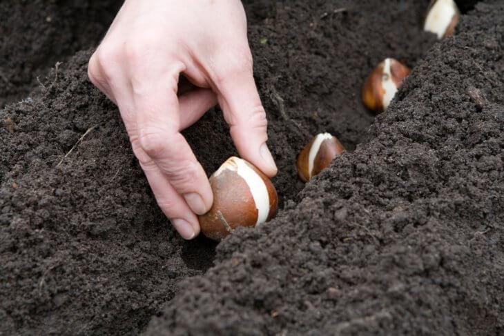 Высадка луковиц тюльпана