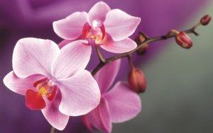 Размножение орхидеи - сложное занятие
