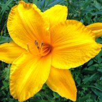 Сеянец лилейника — результат моего успешного скрещивания