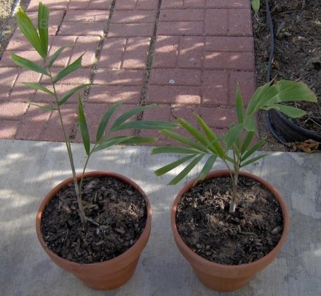 Единственным методом размножения бутылочной пальмы является выращивание из семян