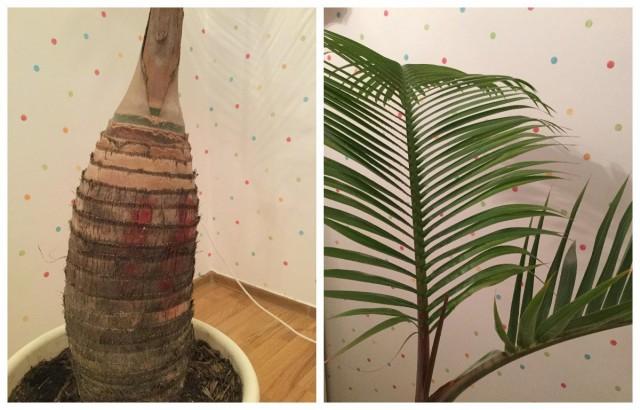 Гиофорба — настоящая бутылочная пальма