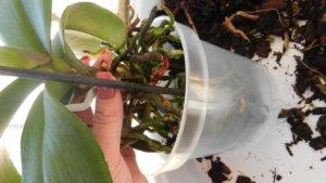 Пересадка орхидеи после цветения - фото