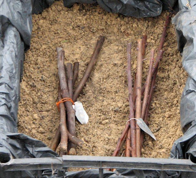 Ветки для привоя удобно хранить в ящике, тазу или контейнере, засыпав влажным песком