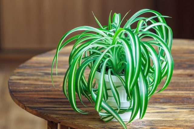 Хлорофитум (Chlorophytum) поглощает угарный газ, аммиак, ацетон, бензол, окиси азота, формальдегиды, токсины и аллергены