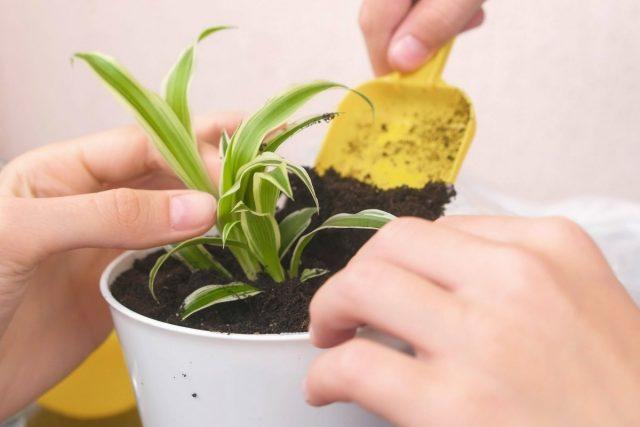 Детки хлорофитума можно укоренить и в воде, и в почве