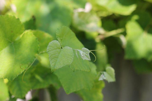 Признак дефицита серы на винограде — легкое высветление верхних листочков