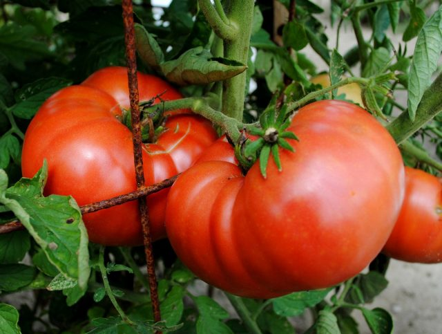 У крупноплодных сортов и гибридов вкус несравненно превосходит все другие томаты, но в кисти обычно формируется около 4-х плодов