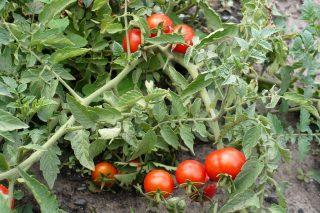 Детерминантные томаты выращивают в открытом грунте или под пленочными укрытиями