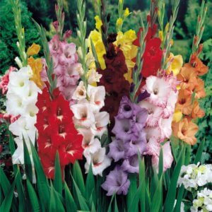 Лат. Gladiolus