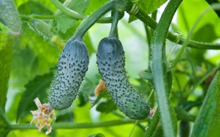 Поспевание урожая огурцов
