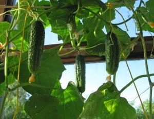 Если растение не прекращает роста, его плети перебрасывают через шпалеру