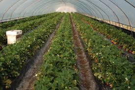 Выращивание клубники в больших объемах
