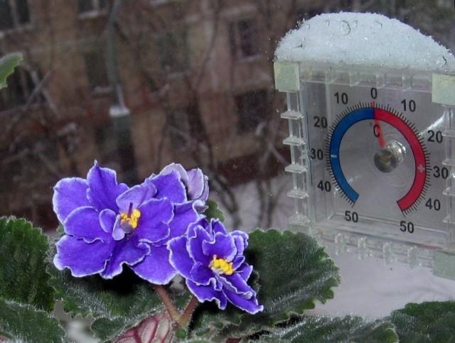 Фиалки цветут почти круглый год, поэтому и подкармливать их нужно не только весной и летом, но и зимой