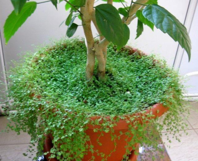 Почвопокровники можно использовать как мульчу для крупных растений