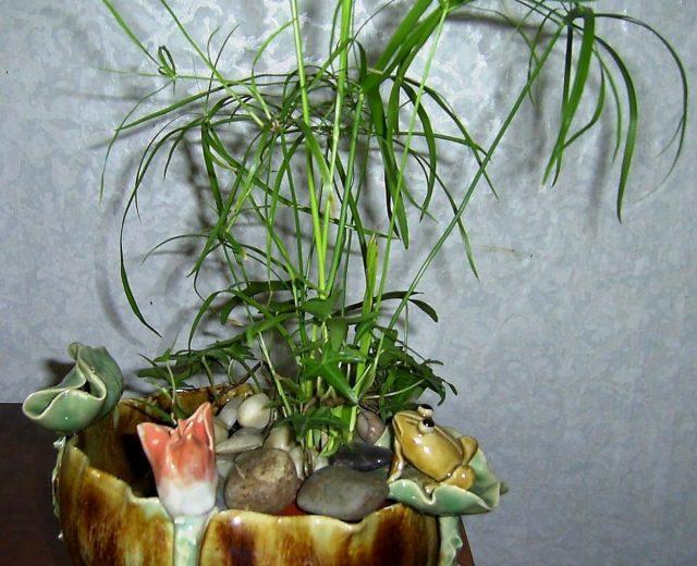 Папирус очереднолистный (Cyperus alternifolius) обожает расти в воде