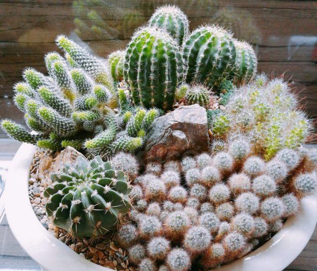 В тридцатисантиметровый горшок можно посадить десятки кактусов!