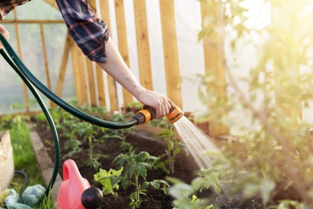 Растения в теплице во время жары предпочтительней поливать утром