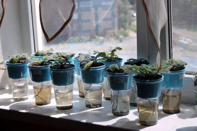 Фиалки - комнатные растения, которые смело можно оставить надолго без присмотра, обеспечив им фитильный полив