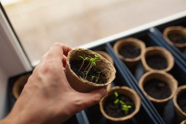 Главный секрет правильного полива рассады — присматриваться к растениям