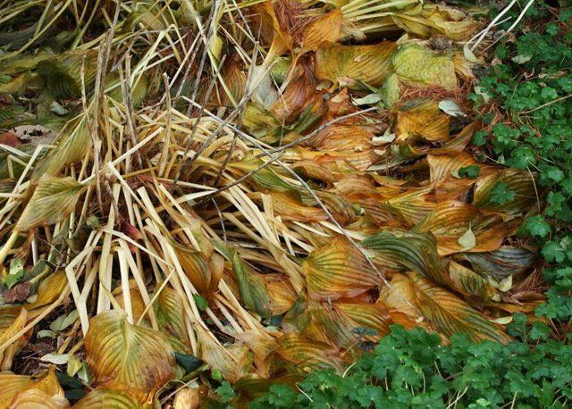 Хоста успешно избавится от листьев сама, от них после схода снега обычно не остается и следа