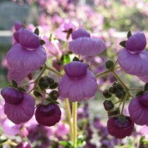 Кальцеолярия пурпурная (Calceolaria purpurea)
