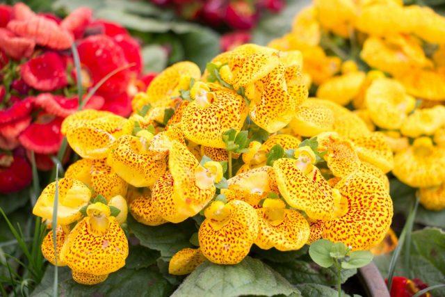 Как наслаждаться цветением кальцеолярии каждый год?