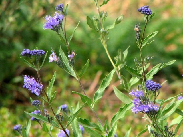 Укоренённый весной черенок, тоже в сентябре добавляет, пусть и немного, синей краски в сад