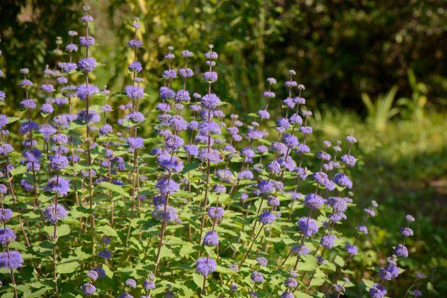 Обычно кариоптерис, посаженный весной, уже в сентябре цветёт
