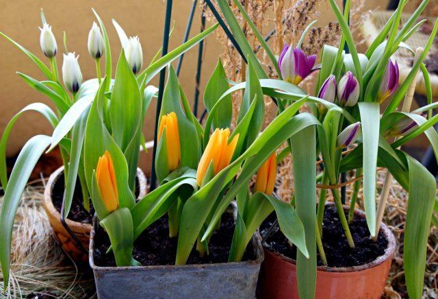 Карликовые ботанические тюльпаны — преимущества и лучшие сорта