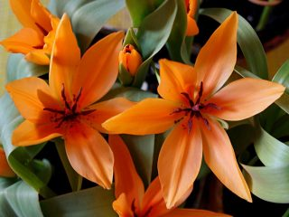 «Сегун» — один из самых крупноцветковых ботанических тюльпанов
