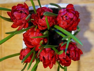У тюльпана «Тет-а-Тет» густомахровые цветки, состоящие из множество бордово-красных лепестков, на которых местами имеются всполохи зеленого цвета