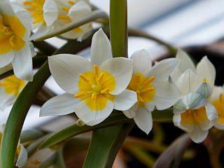 Основной тон цветка Тюльпана многоцветного белый, а на внешней стороне лепестков можно рассмотреть несколько оттенков синего и лилового цвета