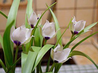 Тюльпан «Коэрулея Альба Окулата» (Tulipa Alba Coerulea Oculata)