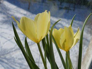 Тюльпан Баталина «Брайт Джем» (Tulipa batalinii Bright Gem)