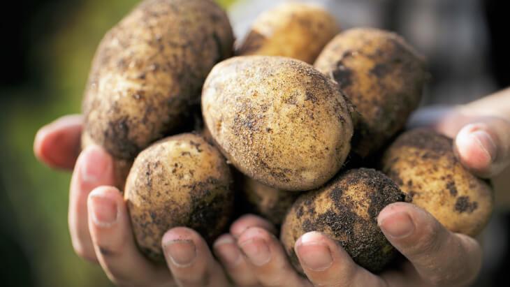 Урожай картофеля, собранный своими руками