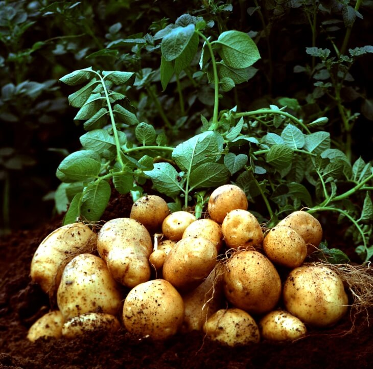 Богатый урожай картофеля