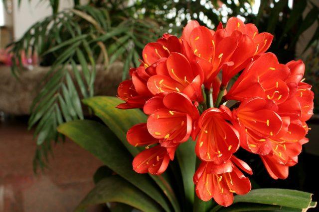 Кливия — комнатная долгожительница среди красивоцветущих