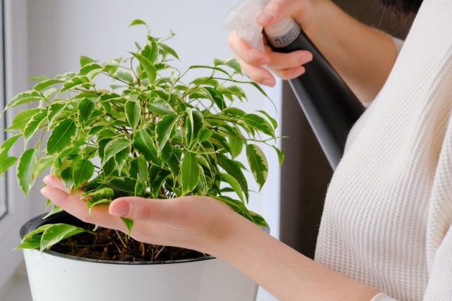 Перед тем, как начинать внекорневые подкормки, нужно приучить растение к регулярным опрыскиваниям