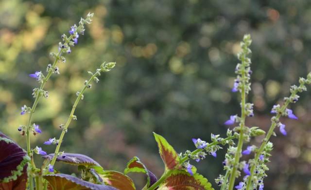 Цветение колеусов происходит активно и массово, но к декоративным характеристикам его не причисляют