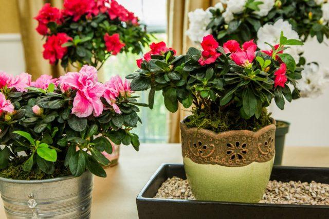 Комнатные рододендроны (Rhododendron) боятся и сильной тени, и прямого солнца