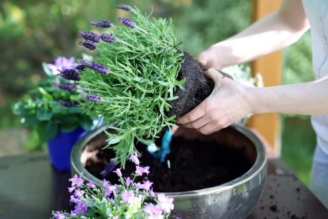 Лаванду можно пересаживать даже во время цветения
