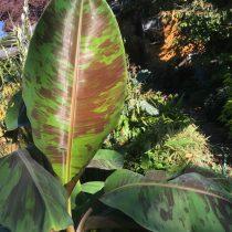 Банан дарджилингский (Musa sikkimensis) 'Red Tiger'