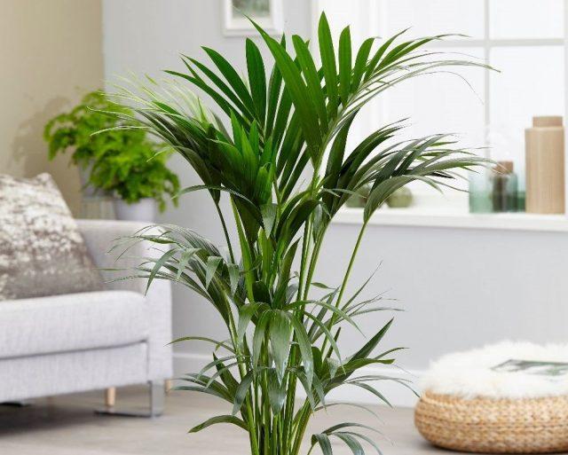 Ховея Форстера (Howea Forsteriana), как и другие тропические пальмы, предпочитает стабильно теплые температуры зимой