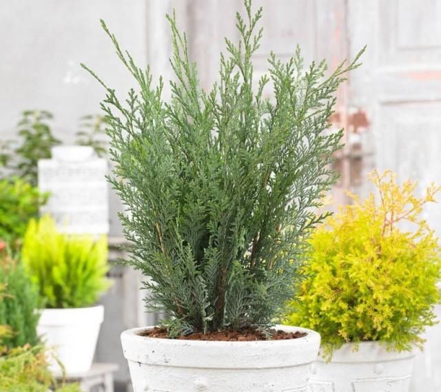 В саду или на балконе кипарисовики размещают в тени, даже легкая полутень будет для них слишком ярким местом