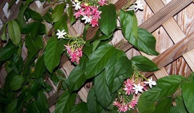 Комбретумы можно использовать для озеленения балкона в теплые месяцы