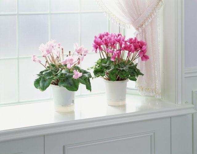 Цикламен персидский не любит соседства с другими комнатными растениями