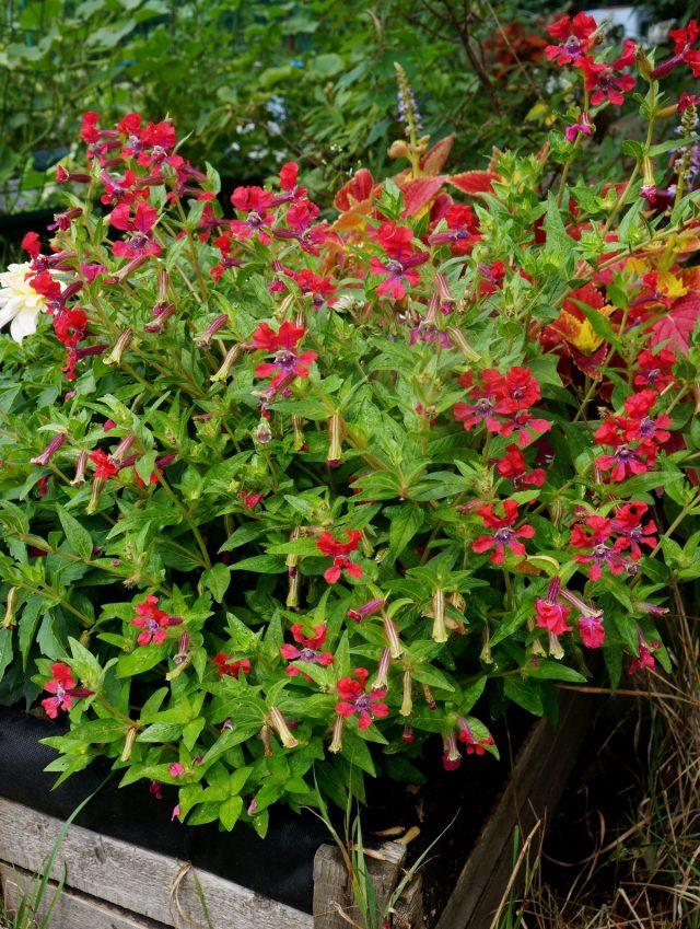 Куфея Ллавея «Шрирача Роуз» (Cuphea llavea 'Sriracha Rose')