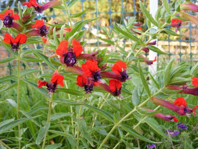Цветок куфеи состоит из длинной трубки, которая расходится на отдельные лепестки