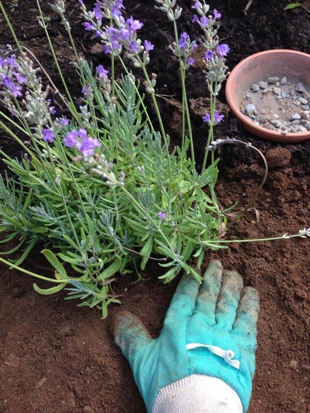 О почве нужно позаботиться еще при посадке лаванды